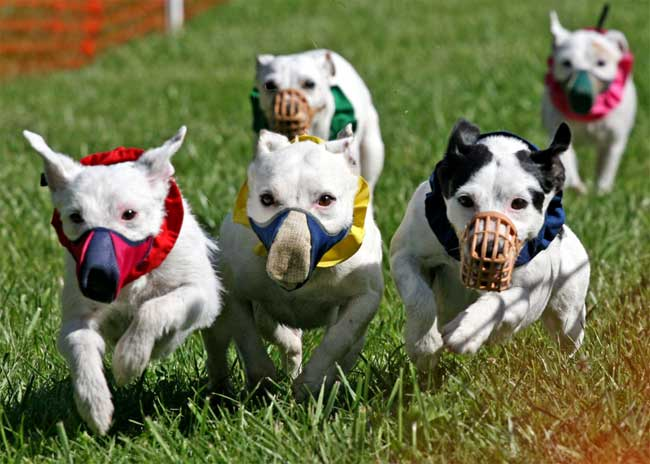 Jack Russell Terrier Jrtca Racing At Sanctioned Trials