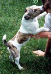 an example of a jack russell with brindle markings