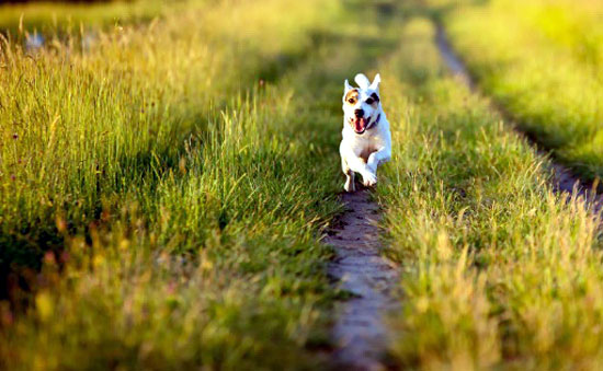Choice Jack Russell Terrier Photo