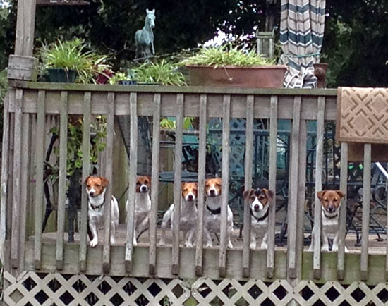 National working terrier club