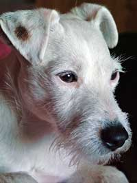 Jack Russell Terrier