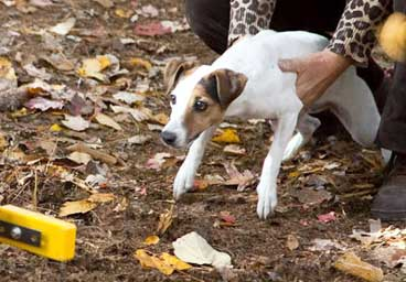 Jack Russell Terrier Club of America JRTCA - National Breed Club and