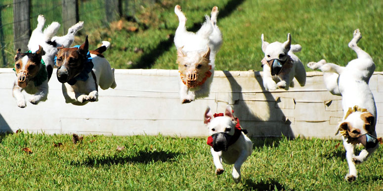 Jack Russell Terrier Hurdle Races