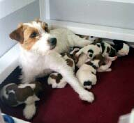 Jack Russell with Puppies