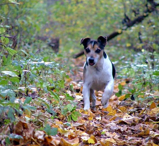 Natural Jack Russell Terruer Photo