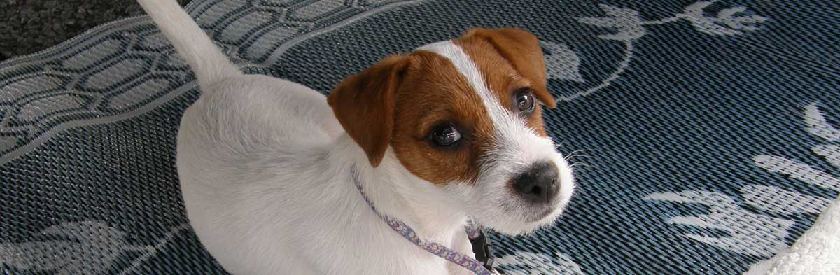 Jack Russell Terrier JRTCA Advice, Training and Behavior