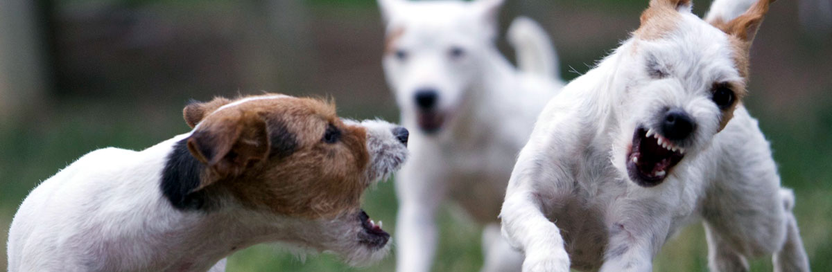 Aggression in Jack Russell Terriers