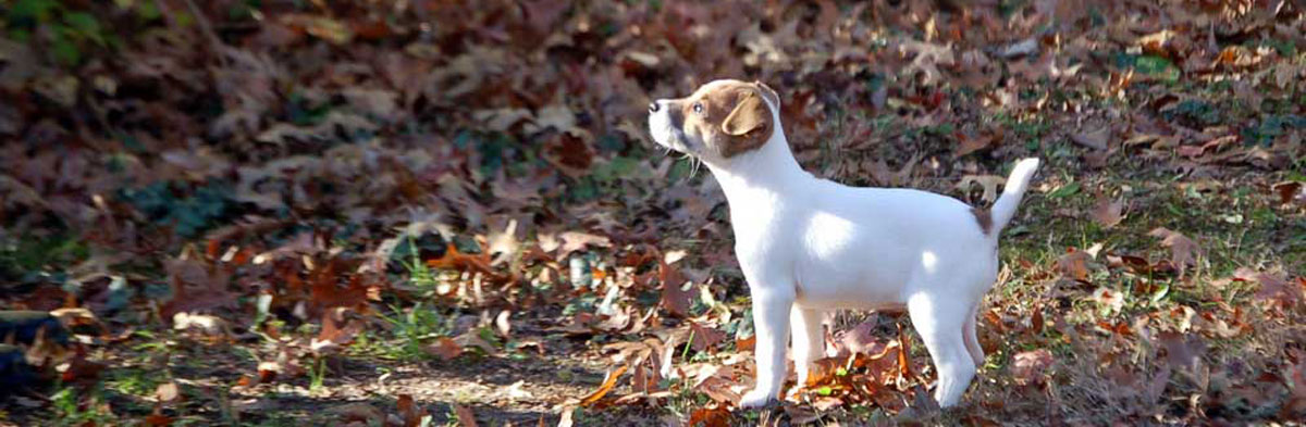 Jack Russell Terrier JRTCA Breeders and Puppies