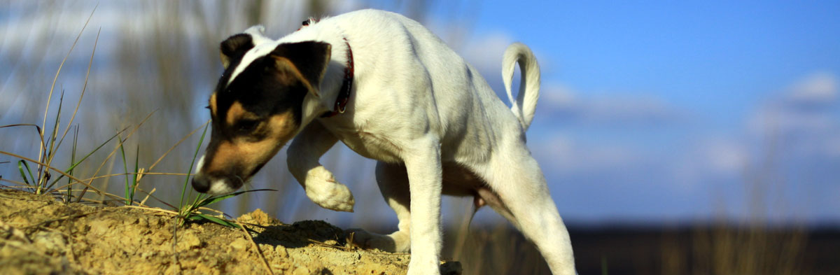 The Jack Russell Terrier: A Working Dog