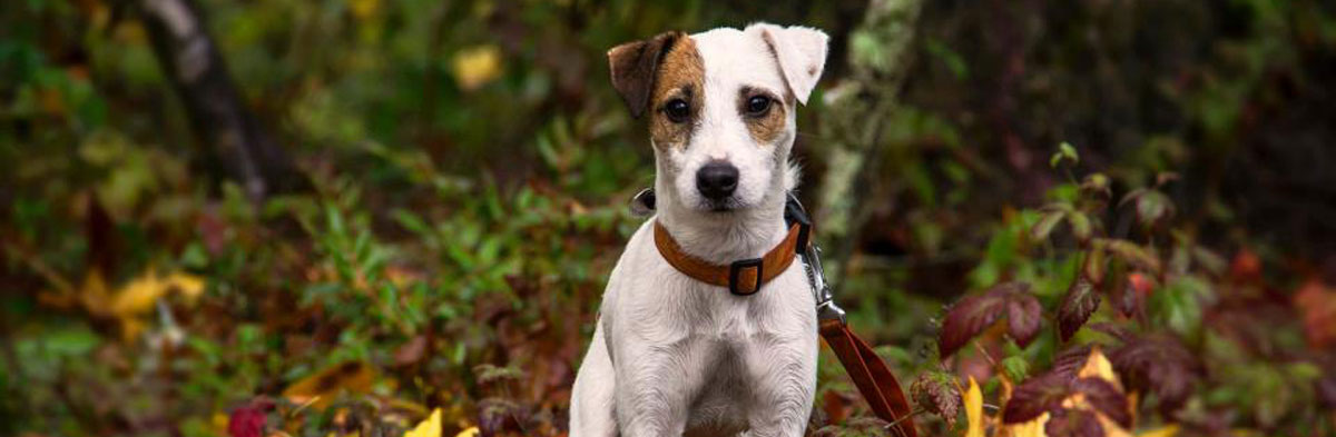 Breeding Jack Russell Terriers