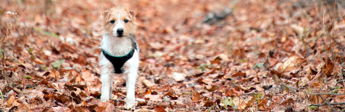 Jack Russell Terrier Coat Types