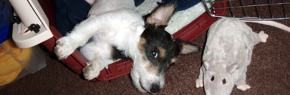 Crate Training a Jack Russell Terrier