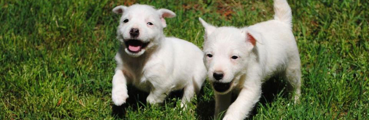 Jack Russell Terrier Research Foundation (JRTRF)
