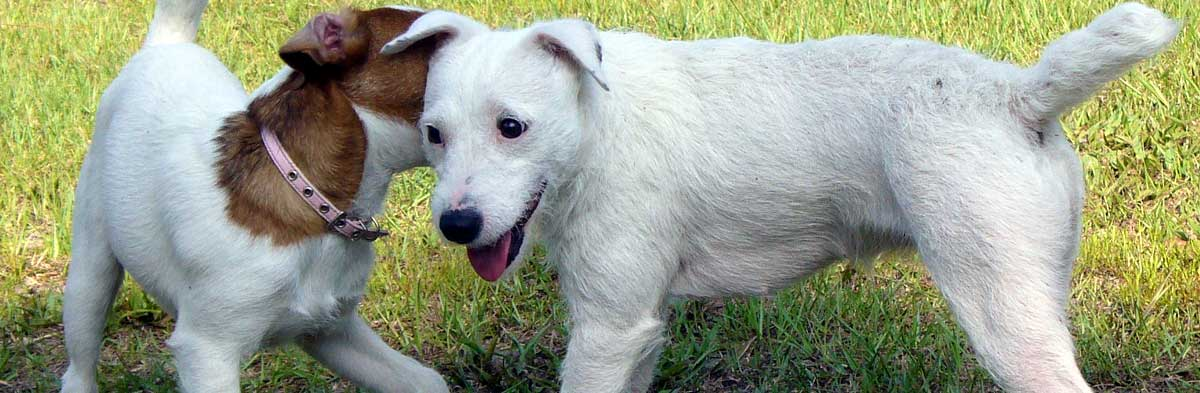 Grooming Your Jack Russell Terrier