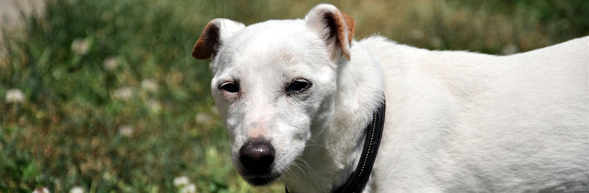 The Older Jack Russell Terrier