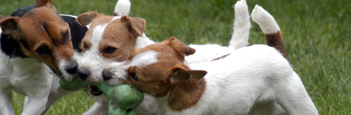 Is the Jack Russell Terrier the Right Dog for You?