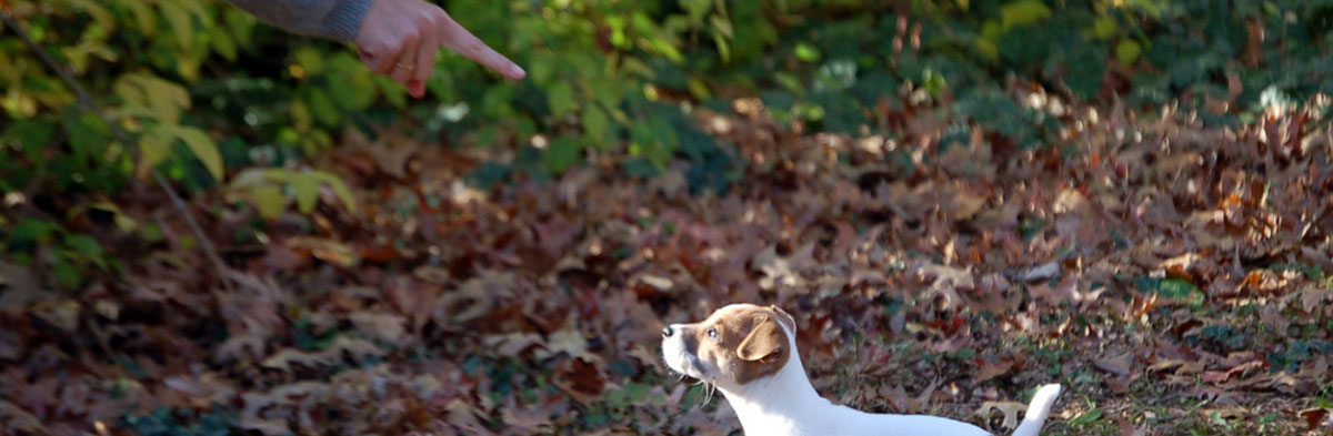 Saying No to a Jack Russell Terrier