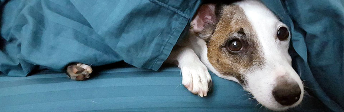 General Training Tips for Jack Russell Terriers