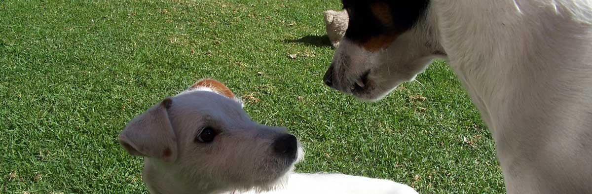 Training the Jack Russell Terrier