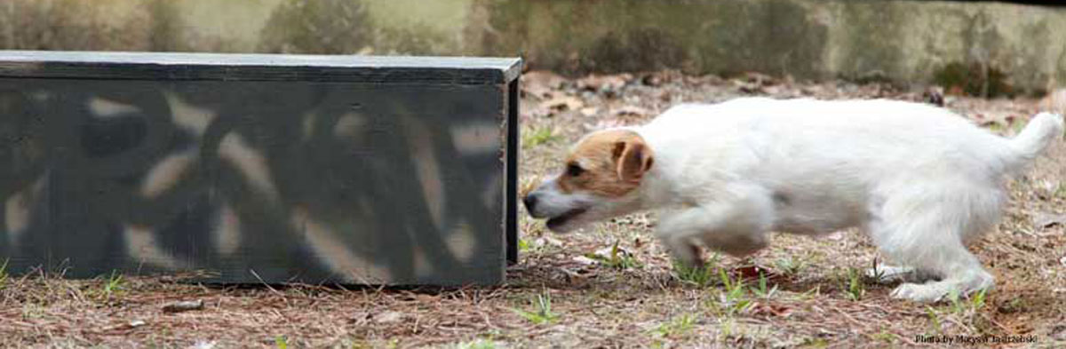 Jack Russell Terrier Trialing 101