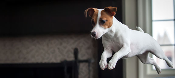 Jack Russell Terrier Rescue