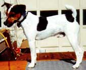 Preserve, Protect and Work the Jack Russell Terrier