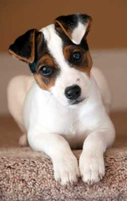 Record Your Jack Russell Terrier