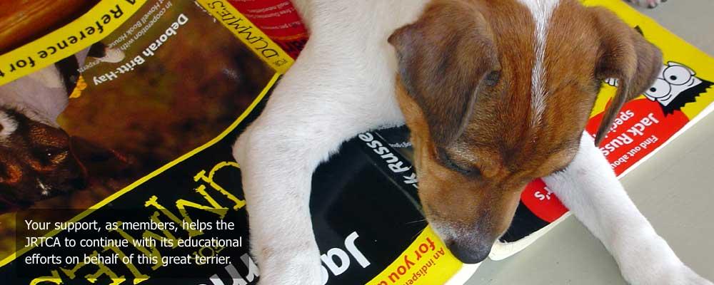 jack russell terrier jrtca pictorial guide tattoo design bild. Black Bedroom Furniture Sets. Home Design Ideas