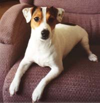 Jack Russell Terrier Jrtca Coat Types