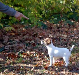 Real Jack Russell Terrier